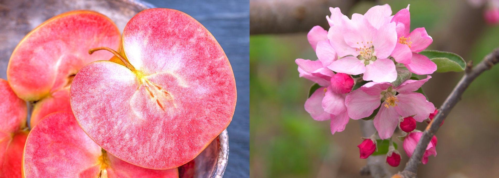 Pommes à chair rouge : Côteaux Nantais étend sa gamme d'épicerie