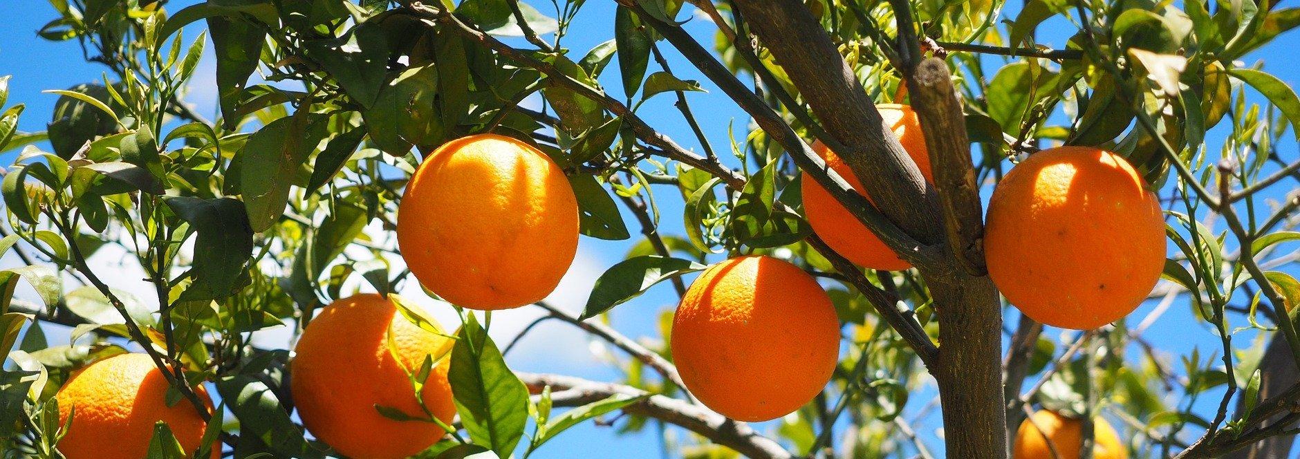 La marmelade d'oranges bio